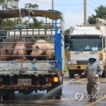 아프리카돼지열병 첫 발생지서 의심 신고 2건 추가 접수