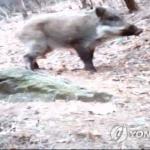 철원 민통선 멧돼지 폐사체서 돼지열병 바이러스